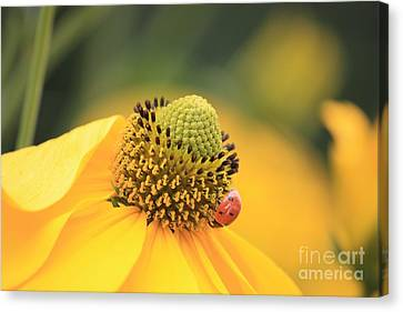 Coneflower With Ladybug Canvas Print by Carol Groenen