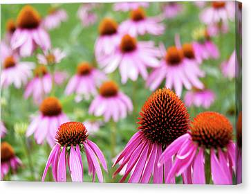 Canvas Print featuring the photograph Coneflowers by David Chandler