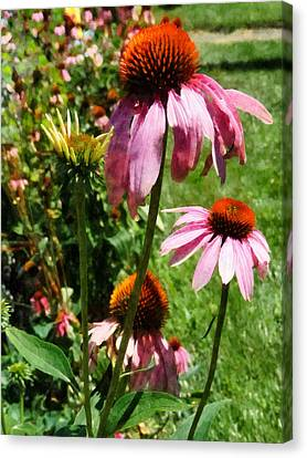 Cone Flower Canvas Print - Coneflowers In Garden by Susan Savad
