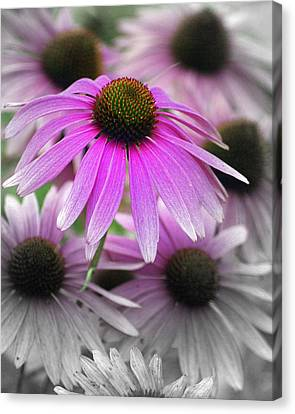 Coneflowers Canvas Print by Marty Koch