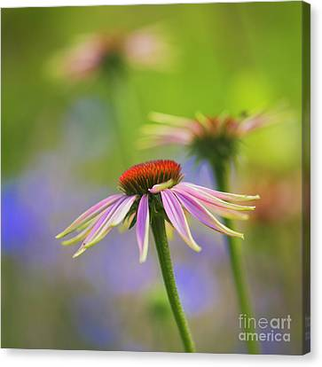 Coneflower Canvas Print - Coneflowers by Veikko Suikkanen