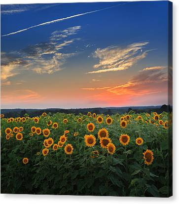 Connecticut Sunflowers In The Evening Canvas Print by Bill Wakeley