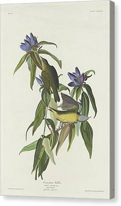 Warbler Canvas Print - Connecticut Warbler by Dreyer Wildlife Print Collections