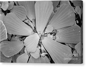 Conservatory Nature In Black And White 1 Canvas Print by Carol Groenen