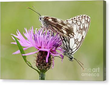 Contact - Butterflies On The Bloom Canvas Print by Michal Boubin