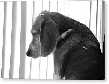 Canvas Print featuring the photograph Contemplative Beagle by Jennifer Ancker