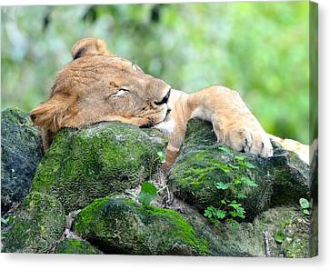 Contented Sleeping Lion Canvas Print