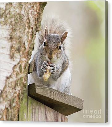 Contented Squirrel Canvas Print