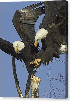 Contested Perch Canvas Print by Tim Grams