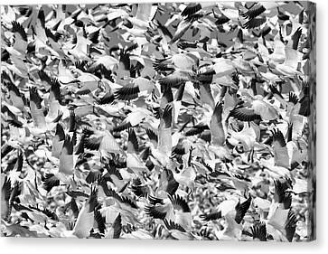 Canvas Print featuring the photograph Controlled Chaos Bw by Everet Regal