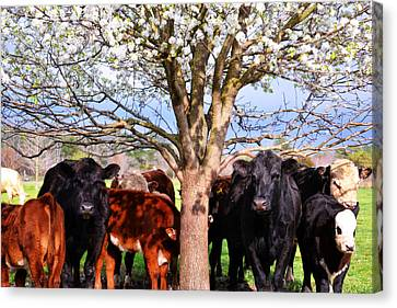 Cool Cows Canvas Print by Kelly Reber