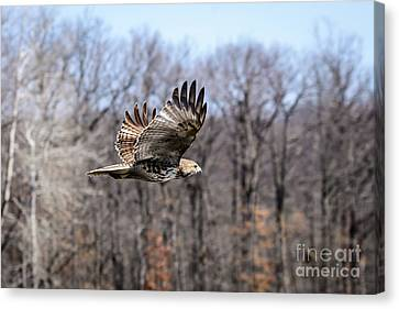 Coopers Hawk 2 Canvas Print by Patrick Shupert
