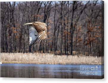 Coopers Hawk 4 Canvas Print by Patrick Shupert