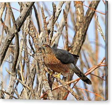 Canvas Print featuring the photograph Cooper's Hawk by Donna Kennedy