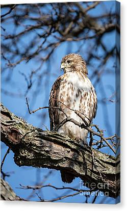 Coopers Hawk Canvas Print by Patrick Shupert