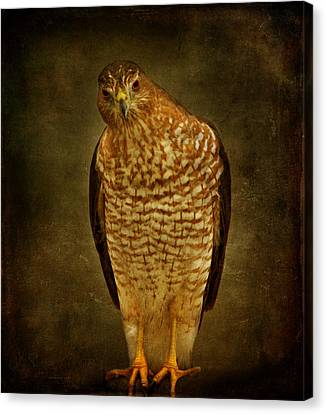 Coopers Hawk Canvas Print by Sandy Keeton