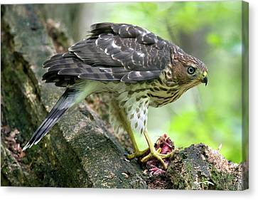Coopers Hawk Canvas Print by Timothy McIntyre