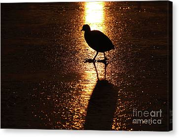 Coot Walks On Golden Ice  Canvas Print