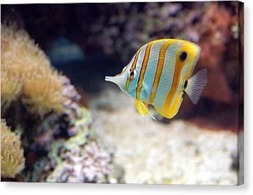 Canvas Print featuring the photograph Copper-banded Butterfly Fish by Kathleen Stephens