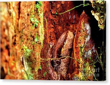 Coqui In Tree Bark Canvas Print