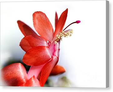 Coral Christmas Cactus With White Background Canvas Print by Karen Adams