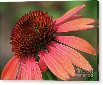 Coral Cone Flower Canvas Print by Sabrina L Ryan