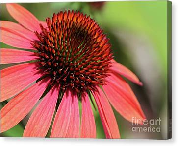 Coral Cone Flower Too Canvas Print by Sabrina L Ryan