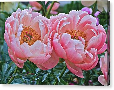 Coral Duo Peonies Canvas Print