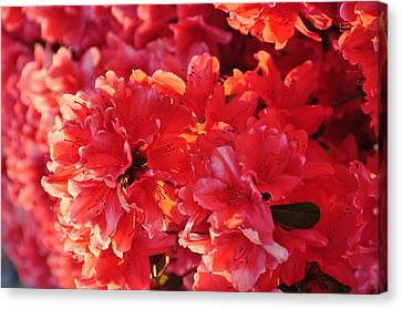 Coral Pink Azaleas Canvas Print by Jan Amiss Photography