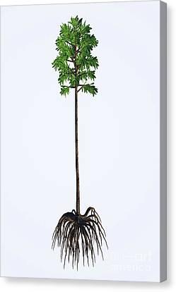 Cordaites Angulostriatus Tree Canvas Print