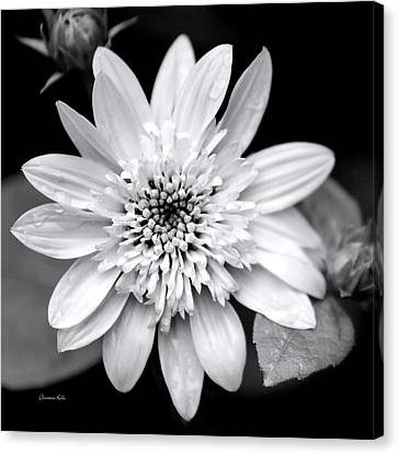 Canvas Print featuring the photograph Coreopsis Flower Black And White by Christina Rollo