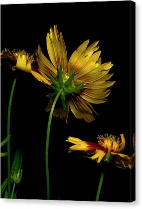Coreopsis Tickseed Canvas Print by Richard Rizzo