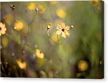 Coreopsis Canvas Print by William Wetmore