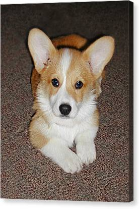 Corgi Puppy Lying Down Canvas Print by Laurie With