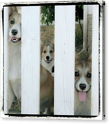 Corgis Three Canvas Print by Mick Anderson