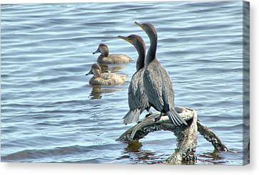 Cormorant Pair And Friends Canvas Print by Rosanne Jordan