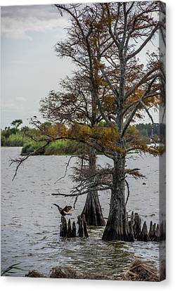 Canvas Print featuring the photograph Cormorant by Paul Freidlund