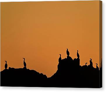 Cormorants At Sunset Canvas Print
