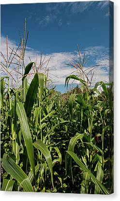 Canvas Print featuring the photograph Corn 2287 by Guy Whiteley