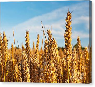 Corn Blowing In The Wind Canvas Print