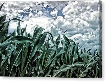 Corn Field 2 Canvas Print