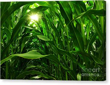 Harvest Canvas Print - Corn Field by Carlos Caetano
