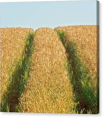 Corn Field Canvas Print by Heiko Koehrer-Wagner