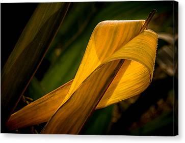 Corn Leaf Canvas Print