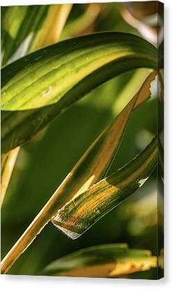 Corn Leaves Nr. 1 Canvas Print