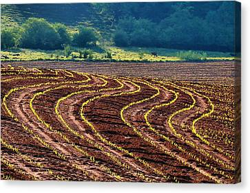 Corn Rows Canvas Print