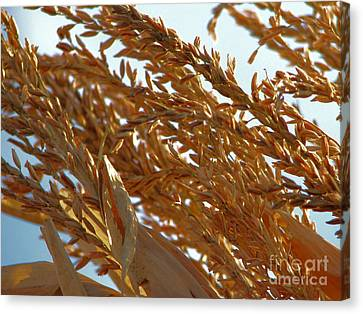 Corn Stalk In Sun Canvas Print