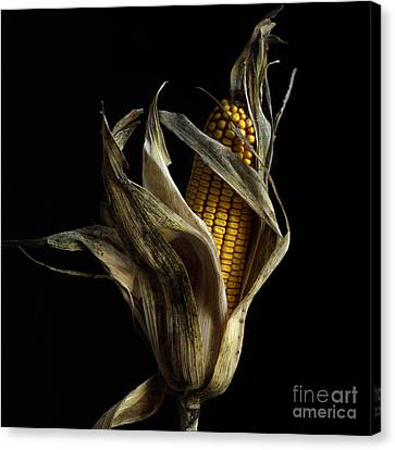 Corncob In Studio. Canvas Print