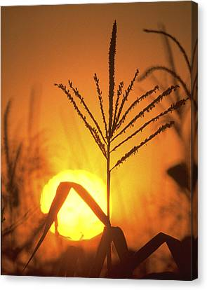 Cornfield Sunset Canvas Print by Garry McMichael