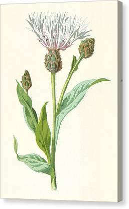 Cornflower Canvas Print by Frederick Edward Hulme
